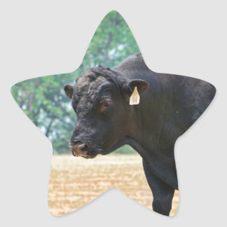 Big Boy Black Anqus Bull Star Sticker