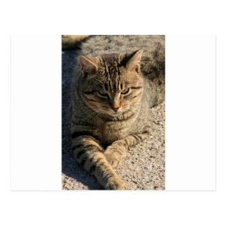 Big Boy Tabby Tom Cat Postcard