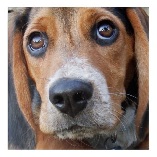 Big Brown Eyed Beagle Puppy Dog Acrylic Print