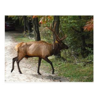 Big Bull Elk with Large Antler Post Cards