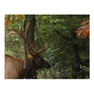 Big Bull Elk with Large Antler Postcard