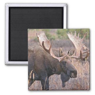 Big Bull Moose 2 Inch Square Magnet