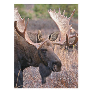 Big Bull Moose Postcard