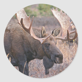 Big Bull Moose Round Stickers