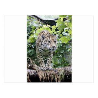 Big Cat Jaguar Postcard