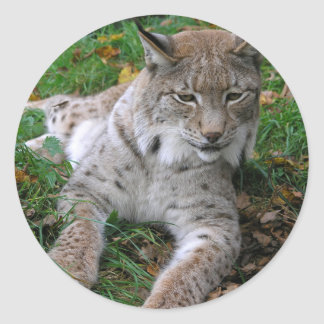 Big Cats - 11 Classic Round Sticker