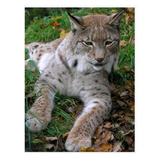 Big Cats - 11 Postcard