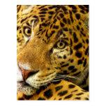 Big Cats - 3 Postcards