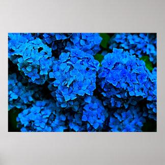 Big Dark Blue Flowers Hydrangea Photography Poster