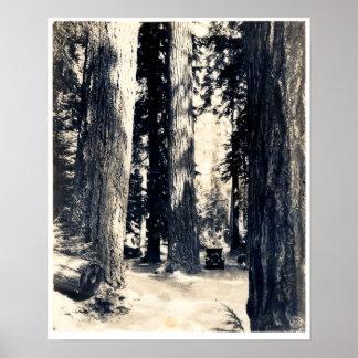 Big Douglas Firs - Print