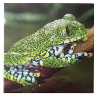 Big Eye Treefrog, Leptopelis vermiculatus, Ceramic Tile