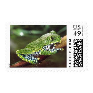 Big Eye Treefrog, Leptopelis vermiculatus, Postage Stamp