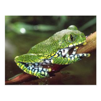 Big Eye Treefrog, Leptopelis vermiculatus, Postcard
