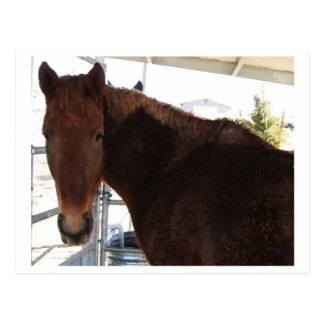 Big Eyes Red Tennessee Walking Horse - TWH Postcard