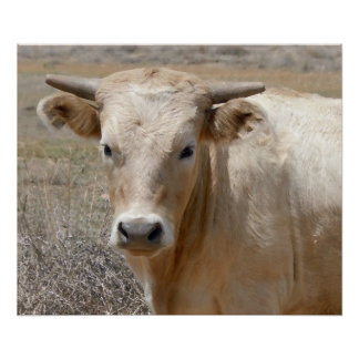Big Eyes White Charolais Cattle - Western Poster