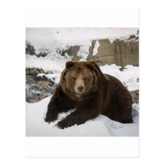 Big Female Grizzly Bear In The Snow Postcard