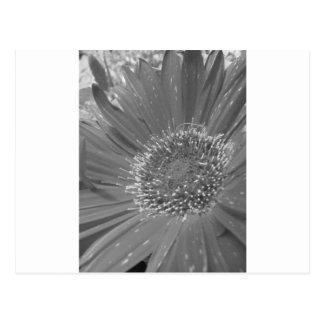 Big Flower without Color Postcard