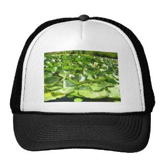 big green lilypads on a pond hats
