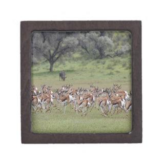 big herd of Springbock, Antidorcas marsupialis, Gift Box
