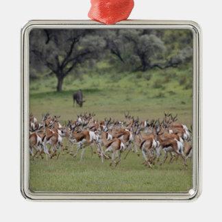 big herd of Springbock, Antidorcas marsupialis, Metal Ornament