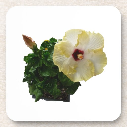 Big Hibiscus Flower with foliage Coasters