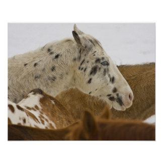 Big Horn Mountains, Horses in The Snow Poster