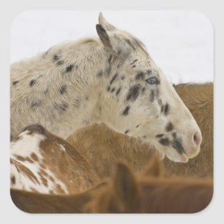 Big Horn Mountains, Horses in The Snow Square Sticker