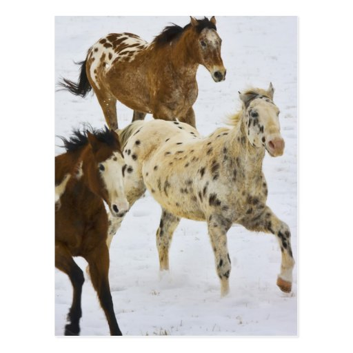 Big Horn Mountains, Horses running in the snow 4 Post Card