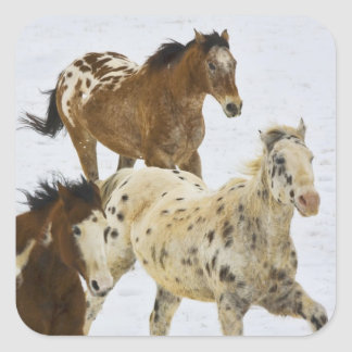 Big Horn Mountains, Horses running in the snow 4 Square Stickers