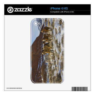 Big Horn Mountains, Horses Running in The Snow Decals For The iPhone 4