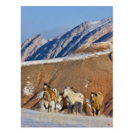 Big Horn Mountains, Horses running in the snow Postcards