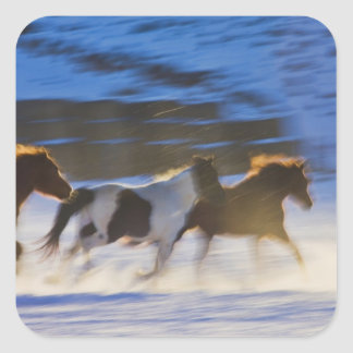Big Horn Mountains, Horses Running in the Snow Square Stickers
