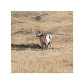 Big Horn Ram Canvas Print