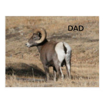 Big Horn Ram Dad Postcard