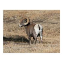 Big Horn Ram Postcard