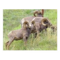 Big Horn Sheep Feeding Postcard