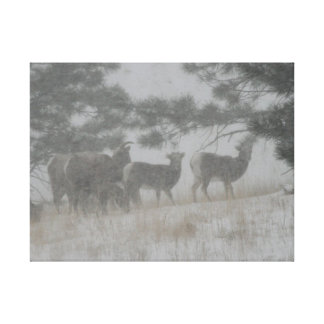 Big Horn Sheep in the Snowstorm Canvas Print