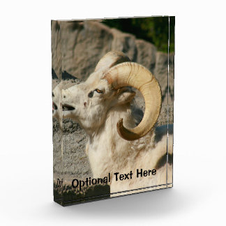 Big Horn Sheep Laughing Award
