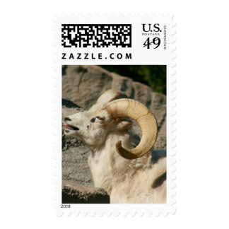 Big Horn Sheep Laughing Postage