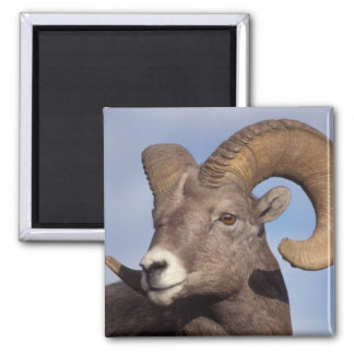 big horn sheep, mountain sheep, Ovis canadensis, 2 Inch Square Magnet