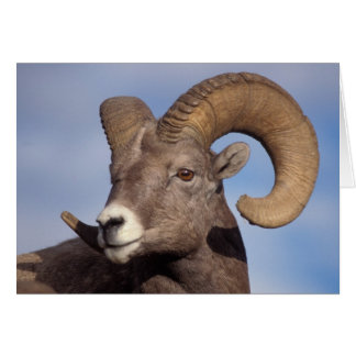 big horn sheep, mountain sheep, Ovis canadensis, Cards