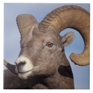 big horn sheep, mountain sheep, Ovis canadensis, Ceramic Tile