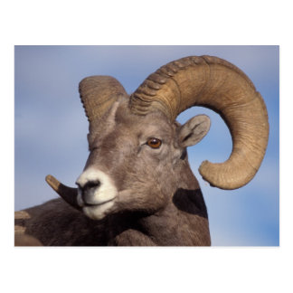 big horn sheep, mountain sheep, Ovis canadensis, Postcards