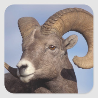 big horn sheep, mountain sheep, Ovis canadensis, Square Sticker
