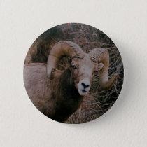 Big Horn Sheep Pinback Button
