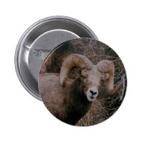 Big Horn Sheep Pinback Button