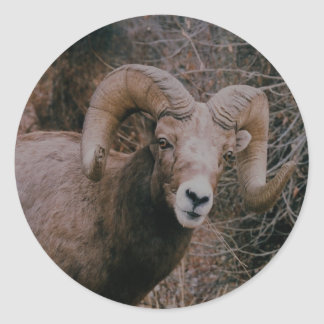 Big Horn Sheep Stickers