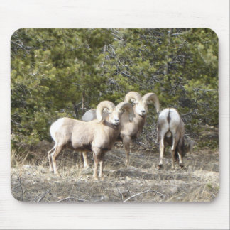 Big Horn Sheep Trio Mousepad