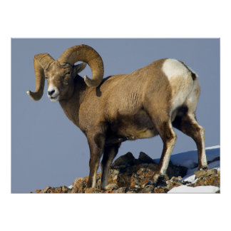 Big Horn Sheep Yellowstone National Park Posters
