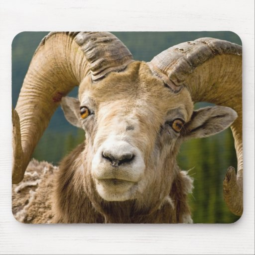Big Horned Sheep Mouse Pad